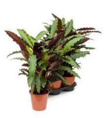 Plantenwinkel.nl Calathea rufibarba wavestar S kamerplant