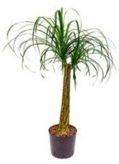 Plantenwinkel.nl Beaucarnea recurvata stam 60 hydrocultuur plant