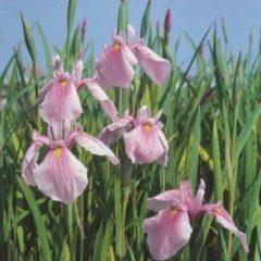 """Moerings waterplanten Roze Japanse iris (Iris laevigata """"Rose Queen"""") moerasplant - 6 stuks"""