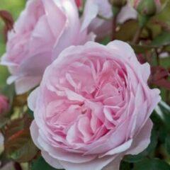 "Plantenwinkel.nl Engelse klimroos (rosa ""Olivia Rose Austin""®)"