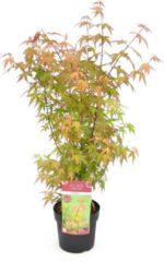 Groene MyPalmShop.nl Acer palmatum 'Redwine' - Japanse esdoorn; Totale hoogte 60+cm incl. 19cm Ø pot
