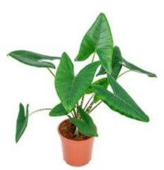 Plantenwinkel.nl Alocasia zebrina M kamerplant
