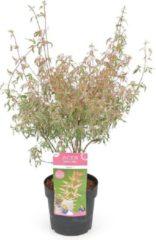 MyPalmShop.nl Acer palmatum 'Marlo' ; Totale hoogte 50-60 cm incl. Ø19cm pot - Bladkleur: Groen met een roze rand in de Lente en roze in de Herfst.