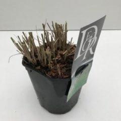 """Plantenwinkel.nl Prachtriet (Miscanthus sinensis """"Kleine Silberspinne"""") siergras - In 2 liter pot - 1 stuks"""