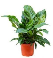 Plantenwinkel.nl Anthurium jungle bush L kamerplant