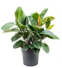 Plantenwinkel.nl Ficus robusta L2 kamerplant