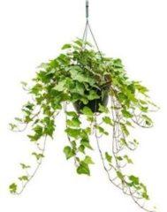Plantenwinkel.nl Hedera helix wonder S hangplant
