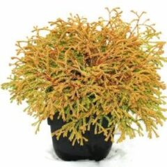 """Plantenwinkel.nl Westerse levensboom (Thuja occidentalis """"Golden Tuffet"""") conifeer - 6 stuks"""