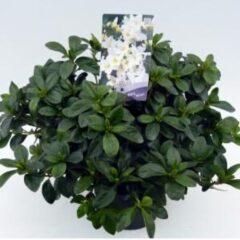 "Plantenwinkel.nl Rododendron (Rhododendron Japonica ""Mary Helen"") heester - 3 stuks"