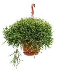 Plantenwinkel.nl Rhipsalis burchellii hangplant