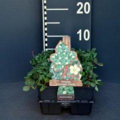 "Plantenwinkel.nl Duinaardbei (fragaria chiloensis ""Chaval"") bodembedekker - 6-pack - 1 stuks"