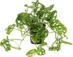 Groene Plantenwinkel.nl Monstera obliqua XS gatenplant kamerplant
