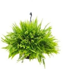 Plantenwinkel.nl Nephrolepis groen lady krulvaren hangplant