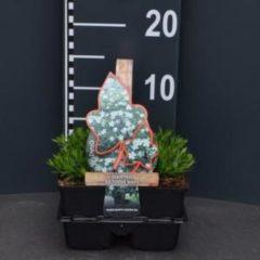 """Plantenwinkel.nl Steenanjer (dianthus deltoides """"White"""") bodembedekker - 4-pack - 1 stuks"""