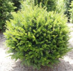 Tuinexpress Taxus Baccata bol 70 cm