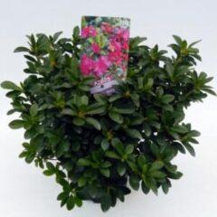 "Plantenwinkel.nl Rododendron (Rhododendron Japonica ""Violetta"") heester - 3 stuks"