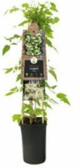 Plantenwinkel.nl Crème bosrank (Clematis vitalba) klimplant - 4 stuks
