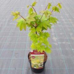 """Plantenwinkel.nl Japanse esdoorn (Acer circinatum """"Burgundy Jewel"""") heester - 3 stuks"""