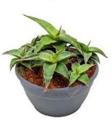 Plantenwinkel.nl Sansevieria lawi S kamerplant