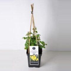 "Plantenwinkel.nl Grootbloemige klimroos (rosa ""Lichtkönigin Lucia""®)"