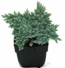 "Plantenwinkel.nl Jeneverbes (Juniperus squamata ""Blue Star"") conifeer - 6 stuks"