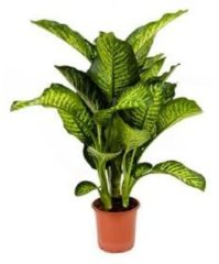 Plantenwinkel.nl Dieffenbachia maroba S kamerplant