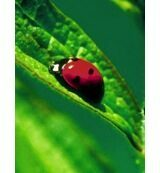 Animal Essences Ladybug (Lieveheersbeestje) (30ml)