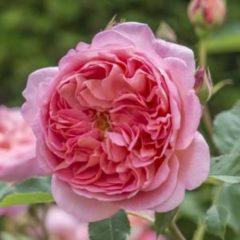 "Plantenwinkel.nl Engelse klimroos (rosa ""Boscobel""®)"