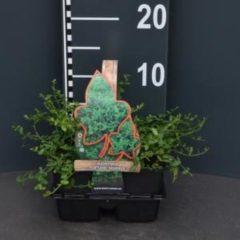 """Plantenwinkel.nl Kardinaalsmuts (euonymus fortunei """"Minimus"""") bodembedekker - 4-pack - 1 stuks"""