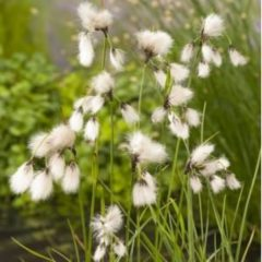Moerings waterplanten Veenpluis (Eriophorum angustifolium) moerasplant - 6 stuks