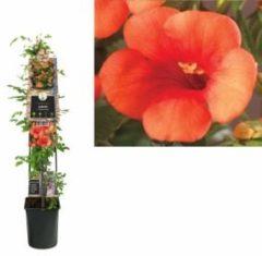 "Plantenwinkel.nl Oranje trompetbloem (Campsis tagliabuana ""Madame Galen"") klimplant - 120 cm - 1 stuks"