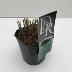 """Plantenwinkel.nl Prachtriet (Miscanthus sinensis """"Gracillimus"""") siergras - In 2 liter pot - 1 stuks"""
