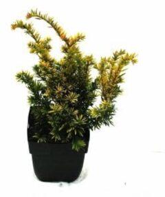 """Plantenwinkel.nl Taxus (Taxus baccata """"Semperaurea"""") conifeer - 6 stuks"""