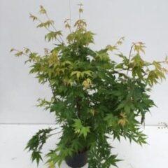 Plantenwinkel.nl Japanse esdoorn (Acer Palmatum) - 40-60 cm - 1 stuks