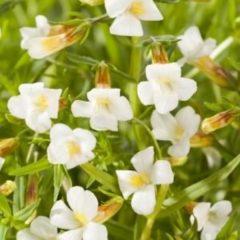 Moerings waterplanten Genadekruid (Gratiola officinalis) moerasplant - 6 stuks