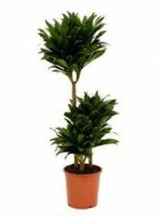Plantenwinkel.nl Dracaena compacta stam S kamerplant