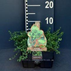 """Plantenwinkel.nl Kardinaalsmuts (euonymus fortunei """"Minimus"""") bodembedekker - 6-pack - 1 stuks"""