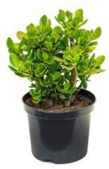Plantenwinkel.nl Crassula ovata XS kamerplant