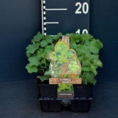 Plantenwinkel.nl Vrouwenmantel (alchemilla mollis) bodembedekker - 6-pack - 1 stuks
