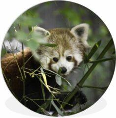 WallCircle Wandcirkel Rode panda - Baby rode panda tussen de takken - ⌀ 60 cm - rond schilderij - fotoprint op kunststof (forex) muurcirkel / wooncirkel / (wanddecoratie)