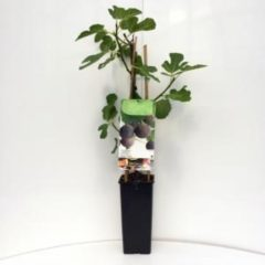"Plantenwinkel.nl Vijg (ficus carica ""Brown Turkey"") fruitbomen - In 2 liter pot - 1 stuks"