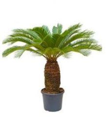 Plantenwinkel.nl Cycas Palm revoluta stam XL kamerplant