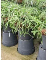 Plantenwinkel.nl Rhipsalis pentaptera hangplant