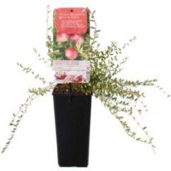 "Plantenwinkel.nl Cranberry (vaccinium macrocarpon ""Cranberry"") fruitplanten - 5 stuks"