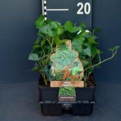 Plantenwinkel.nl Klimop (hedera hibernica) bodembedekker - 6-pack - 1 stuks