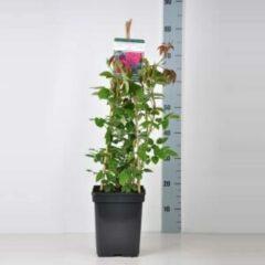 "Plantenwinkel.nl Engelse klimroos (rosa ""William Shakespeare 2000""®)"