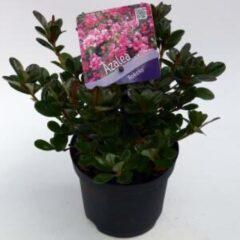 """Plantenwinkel.nl Rododendron (Rhododendron Japonica """"Rokoko"""") heester - 15-20 cm - 8 stuks"""