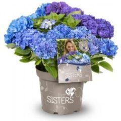 "Plantenwinkel.nl Hydrangea Macrophylla ""Three Sisters""® Blue boerenhortensia - 7 stuks"
