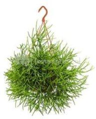 Plantenwinkel.nl Rhipsalis heteroclada M hangplant