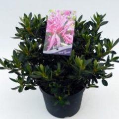 """Plantenwinkel.nl Rododendron (Rhododendron Satsuki """"Shiryu-no-Homare"""") heester - 3 stuks"""